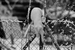IMG_2017_12_01_00466_1 (gravalosantonio) Tags: huerto gato cat nieve ecologico jaca