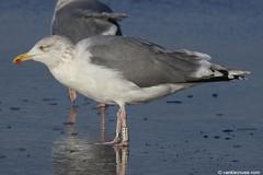 Adult Scandinavian Gull White KH70 - 20171127 (little-W | Studying gulls) Tags: larusargentatus scandinavian herring gull