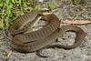 Rough-scaled Snake (Tropidechis carinatus) (Jules Farquhar.) Tags: elapidae elapid snake venomous proteroglyphous squamate nsw midnorthcoast australianreptiles herpetofauna julesfarquhar roughscaledsnake tropidechiscarinatus