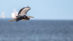 Grey heron (- A N D R E W -) Tags: canon eos 80d tamron sp 150600mm f563 di vc usd nature naturaleza dslr telephoto sea mar water playa beach agua waves summer verano gray grey heron feet wings flying flight