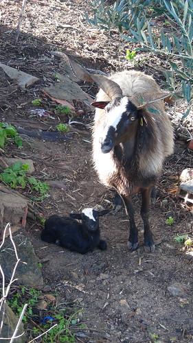 chèvre Portugal