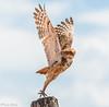 The Fligth (galindoadv) Tags: coruja owl flight wild wildlife photo photografy nikon d7200 sigma 150500mm bird trophy