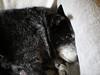 IMG_2119 (i_am_lee_sam) Tags: dog sleeping peace blue heeler acd australian cattle couch canon ef100mm f28 l is usm macro
