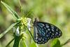 Blue Tiger Tirumala limniace (Barbara Evans 7) Tags: blue tiger butterfly assam ne india barbara evans7