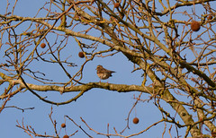 Redwing (Turdus iliacus) (Caulker) Tags: canonspark tree bird redwing december 2017