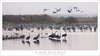 Morning Cranes, Pond (G Dan Mitchell) Tags: lesser sandhill cranes flock flight pond wetlands marsh mnwr fog morning nature wildlife landscape california usa north america