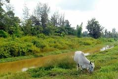 Verts pâturages (Paradiperdu) Tags: thaïlande animaux paysages nature