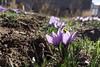 Azafrán de La Mancha en Herencia (Ciudad Real) (dcarrero) Tags: azafrán herencia ciudadreal castillalamancha rosadelazafrán cultivo flores rojo morado