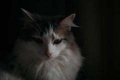 329/365 (Garen M.) Tags: dogs chip buttercup turkishvan cats nikond850 antics vans nikkor105mmf28macro jojo jerry ella