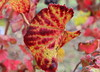 ~ Morning Dew On The Autumn Vineyard Leaves ~ (Trail Trekker) Tags: autumn autumncolors fallcolors vineyard vineyardleaves napacalifornia macroshot grapevine