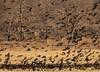 Red Winged Black Birds (clarkcg photography) Tags: redwingblackbird flock roll flight feed pasture morning dawn chaos frenzy sundayfauna 7dwf
