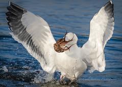 Octopus fights back (cbjphoto) Tags: avian bolsachica carljackson bird western ecological gull photography reserve