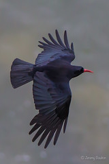 Inflight (JKmedia) Tags: 2017 birds avian feathers beak boultonphotography corvidae corvid chough crow red orange llandudno wales inflight topside 15challengeswinner