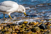Fall 2017-128.jpg (jbernstein899) Tags: backyardandneighborhood coldspringharbor birds gulls