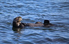 Sea Otter with nursing pup (ashockenberry) Tags: sea otter mammal cute nature naturephotography wildlifephotography aquatic california ocean waves pacific