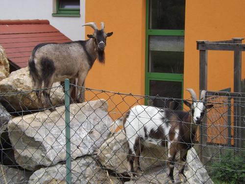 Pygmy goats, Raach, Graz, Austria