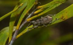 Curculionidae (dustaway) Tags: arthropoda insecta coleoptera curculionidae weevilbeetle australianbeetles australianinsects patersonhill byronbaydwarfgraminoidclayheath byronbay northcoast nsw australia nature