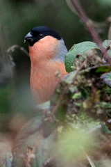 Peek-a-Boo Bullfinch (Paul Brunt) Tags: wild wildlife ulley ulleycountrypark bullfinch male branches twigs leaves bird small smallbird orange black grey brightcolour