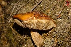 29102017-RRR08839 (Tres-R) Tags: fornelosdemontes galicia españa es pontevedra tresr rodolforamallo sonyrx10iii setas otoño riasbaixas mushrooms