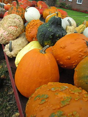 Autumn Produce. (dccradio) Tags: cavetown smithsburg md maryland produce producestand ag agricultural farm farming agriculture pumpkin pumpkins orange fall autumn harvest wart warts bump bumps grass lawn yardgreenery outside outdoors orchard mountainvalleyorchard canon powershot a3400is