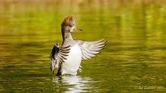 Hooded Merganser (f) (Bob Gunderson) Tags: birds california divingducks ducks goldengatepark hoodedmerganser lloydlake lophodytescucullatus mergansers northerncalifornia sanfrancisco sunrays5