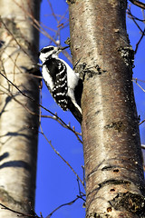 Hairy Woodpecker (John_the_Fisherman) Tags: hairy woodpecker wasilla alaska picoidesvillosus hairywoodpecker