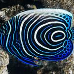 Emperor Angelfish, juvenile - Pomacanthus imperator thumbnail