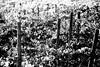 campagna marchigiana - autunno 2017 (enricoerriko) Tags: enricoerriko erriko enrico campagna autunno asola vallata fosso civitanovamarche portocivitanova viti vino foglie colori terra cipressi paesaggio marche nyc la bcn beijing hanoi filari wine douhet casalis montecoriolano regionecampania tenutacasalisdouhetdellaregionecampania mare adriatico sea sole sun agricoltura regionemarche ruggine oro blackwhite green verde novembre2017