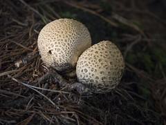 _A151698 Twin mushrooms (idunavision) Tags: ostwestfalenlippe detmolddonoperteich forest pond beechtrees buchen canon leica olympus autumn fall herbst golden teich mushrooms fern