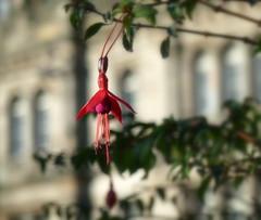 Photo of Fuchsia