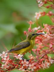 Olive-backed sunbird among pagoda flowers (Robert-Ang) Tags: olivebackedsunbird sunbird animal wildlife nature jurongecogarden singapore cinnyrisjugularis animalplanet