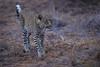 DSC_1667.jpg (Mike/Claire) Tags: leopard 2016 southafrica tandatula timbavati
