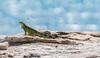 Cabo Rojo (andrenunez) Tags: iguana cabo rojo