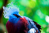 Blue crowned pigeon (Dakiny) Tags: 2017 autumn october japan kanagawa yokohama asahiward park city street outdoor zoo yokohamazoologicalgardens zoorasia creature animal bird nikon d750 sigma apo 70200mm f28 apo70200mmf28exdgoshsm sigmaapo70200mmf28exdgoshsm nikonclubit