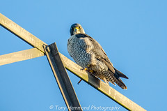 Peregrine Falcon (falco peregrinus) (search instagram phat5toe) Tags: peregrinefalcon raptor prey birds feathers avian wildlife nature wigan flashes nikon d7000 tamron150600mm
