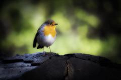 Robin (1) (R.J.Boyd) Tags: robinred breast birds