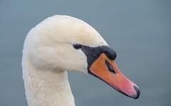 swans (37) (Vlado Ferenčić) Tags: swansfamily swans vladoferencic lakes vladimirferencic lakezajarki birds animals animalplanet zaprešić hrvatska croatia nikond600 sigma15028macro