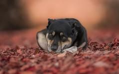 Scandal aka Mr lover (Paul`s dog photography) Tags: canon eos 5d mark iv ef135mm f2l usm