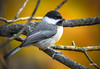Black-capped Chickadee (jt893x) Tags: 150600mm bird blackcappedchickadee chickadee d500 jt893x nikon nikond500 poecileatricapillus sigma sigma150600mmf563dgoshsms thesunshinegroup coth alittlebeauty coth5