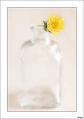 Guardé ésta para ti (V- strom) Tags: macrophotography macrofotografía flor flower amarillo yelow cristal glass botella botel regalo grift recuerdo reflejos memory reflection luz light petals pétalos texturas textures nikon105mm flora bodegón