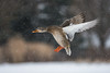 Mallard coming in for some food (bakosmike) Tags: mallard d7200 nikon nature duck 300mm waterfowl snowy snow flying wildlife bif bird flight inflight winter canada ontario canard oiseau
