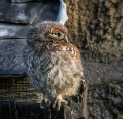 Little Owl (Nigey2) Tags: