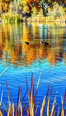 ducks on gold and blue (JoelDeluxe) Tags: tingley beach abq bosque albuquerque dukecity nm newmexico biopark ponds fall colors red orange yellow green blue ducks wildlife fishing recreation landscape panorama hdr joeldeluxe