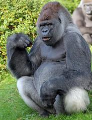 western lowlandgorilla Bokito Blijdorp BB2A5159 (j.a.kok) Tags: gorilla westelijkelaaglandgorilla westernlowlandgorilla lowlandgorilla laaglandgorilla blijdorp animal aap ape mammal monkey mensaap primate primaat zoogdier dier africa afrika bokito