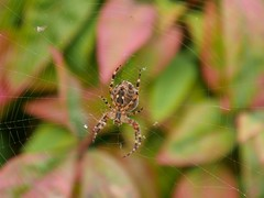 Dans le Nandina (moniquefouchereau) Tags: araignée nandinadomestica