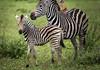 Zebra foal (Sheldrickfalls) Tags: zebra zebrafoal zebras impala burchellszebra plainszebra pundamaria punda krugernationalpark kruger krugerpark limpopo southafrica coth5