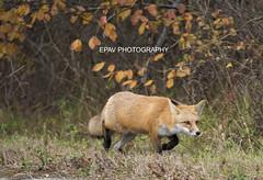 A stalking red fox (WhiteEye2) Tags: redfox nature wildlife newjersey usa fox stalking