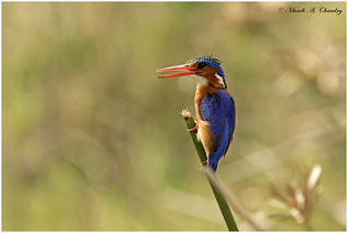 The Colourful Kingfisher!