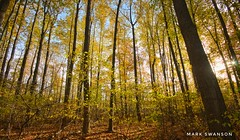 Autumn Color (mswan777) Tags: 1020mm sigma d5100 nikon landscape stevensville michigan leaf trunk scenic trail hike wood forest tree yellow light sun nature outdoor season color fall autumn