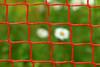 Two. Framed by squares. (Gudzwi) Tags: daisy grass gras gänseblümchen netz fusball blur unschärfe 7dwf ctt square 7dwfcrazytuesdaythemesquare rot red green grün garten garden rotundgrün redandgreen natur nature